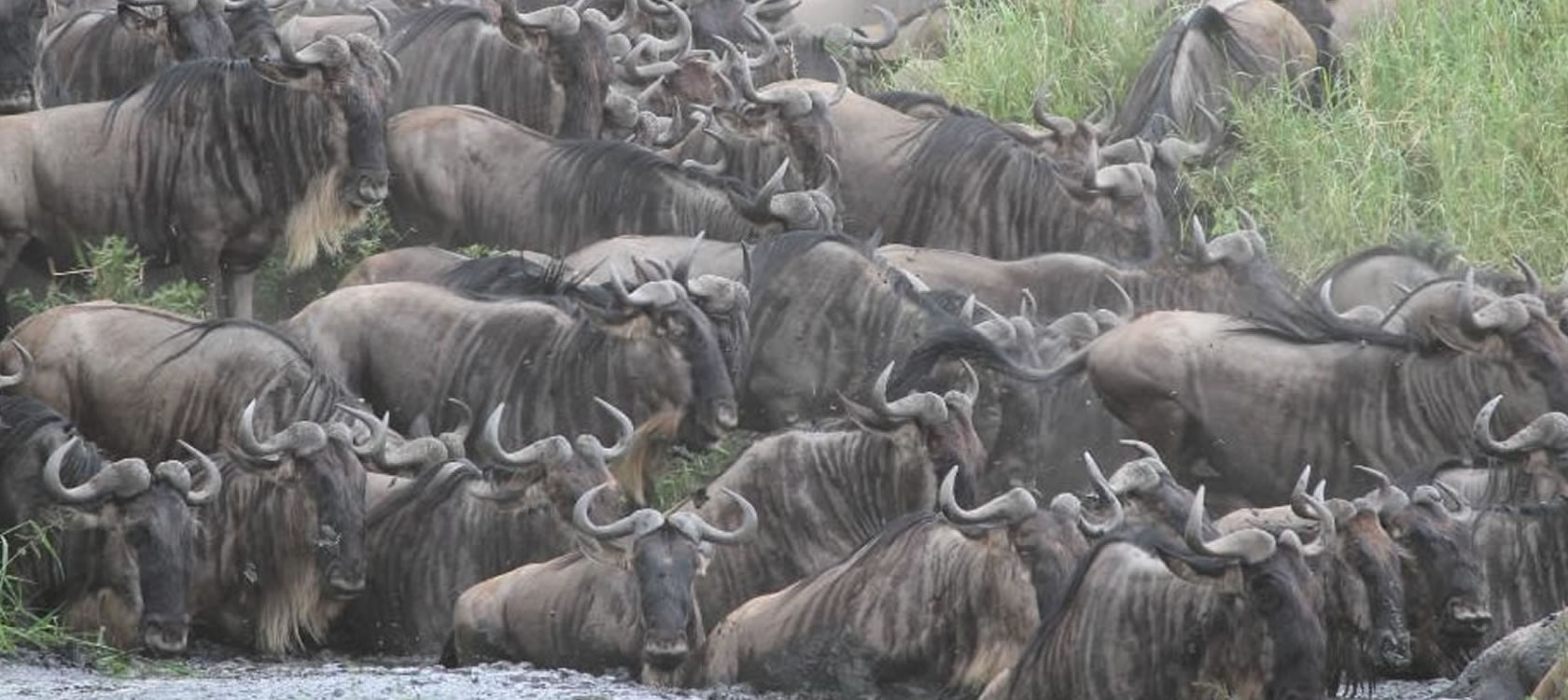 Wild Beasts Migration